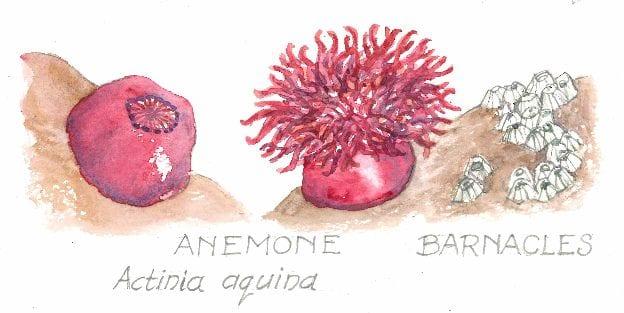 Anemone, Actinia aquina