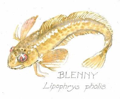 Blenny, Lipophrys pholis