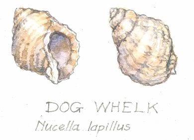 Dog Whelk, Nucella lapillus