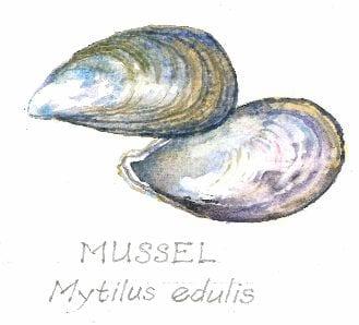Mussell, Mytilus edulis