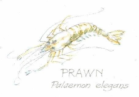 Prawn, Palaemon elegans