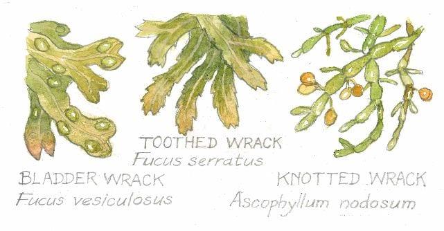 Bladder Wrack, Fucus vesiculosus Toothed Wrack, Fucus serratus Knotten Wrack, Ascophyllum nadosum