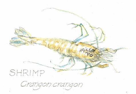 Shrimp, Crangon crangon