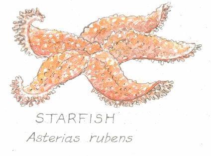 Starfish, Asterias rubens